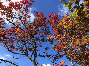 Brilliant blue skies and richly coloured foliage