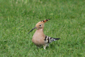 Hoopoe at Domaine de Pessel Holiday Cottages