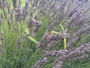 Praying Mantis in Lavender at Domaine de Pessel Holiday Cottages